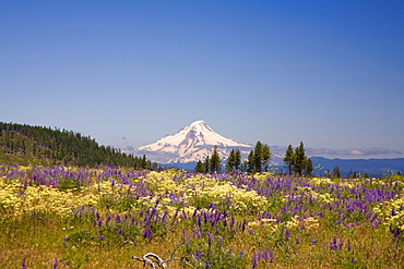 Mount Hood And Wildflowers, Oregon, Usa