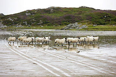 Sheep In The Water, Colonsay, Scotland