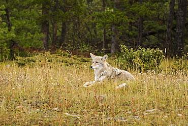 Coyote (Canis Latrans), Jasper National Park, Alberta, Canada