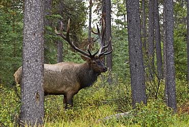 Jasper National Park, Jasper, Alberta, Canada, Bull Elk (Cervus Canadensis)During Rut Season
