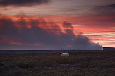 Controlled Burning Of Heather, Yorkshire, England