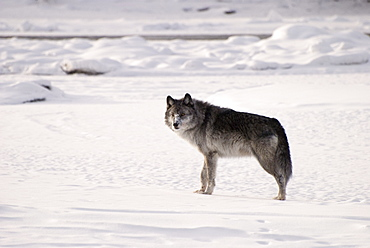 Alberta, Canada, Gray Wolf (Canis Lupus) In The Snow