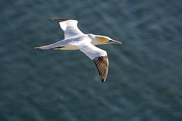 Gannet (Sulidae) In Flight