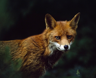 Red Fox, Ireland