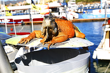 Big Igauna Sitting On Trash, Cabo San Lucas, Mexico
