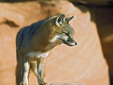 Gray Fox (Urocyon Cinereoargenteus), Utah, Usa