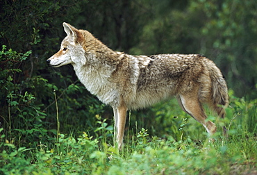 Coyote (Canis Latrans) At Edge Of Forest, Montana, Usa