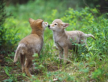 Coyote Puppies (Canis Latrans) Greeting, Montana, Usa