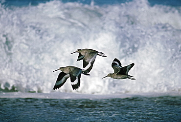 Willets (Tringa Semipalmata) Flying In Front Of Breaking Waves