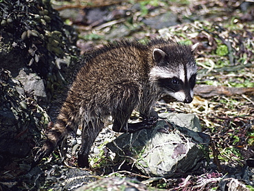 Baby Raccoon (Procyon Lotor), Olympic National Park, Washington, Usa