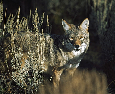 Coyote (Canis Latrans), Idaho, Usa