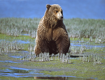 Alaskan Brown Bear (Ursus Arctos) Searching Tide Plain