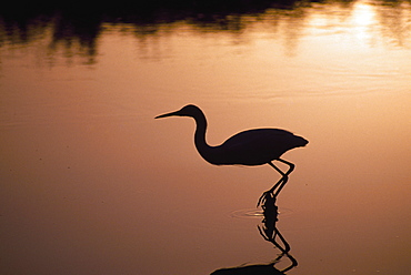 Silhouette Of Snowy Egret In Hunting Posture At Sunset