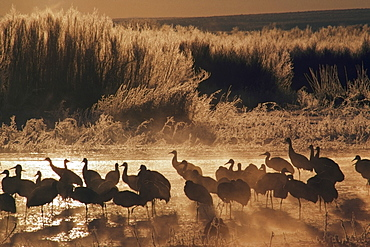 Sandhill Crane (Grus Canadensis) Flock On Pond, Bosque Del Apache National Wildlife Refuge, New Mexico, Usa