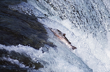 Salmon Ascending Waterfall, Katami National Park, Alaska