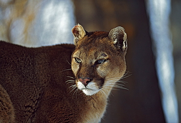 Mountain Lion (Felis Concolor), Montana, Usa