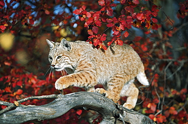 Bobcat Walks On Branch Through Hawthorn In Autumn, Idaho, Usa