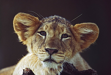 Lion Cub Laying On Branch, Africa