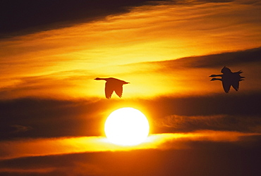 Snow Geese Flying By Sunrise