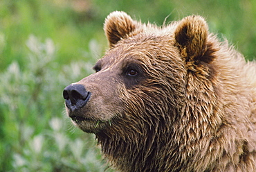 Grizzly Bear Portrait, Denali National Park And Preserve, Alaska, Usa