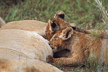 Lion Cubs Nursing, Africa