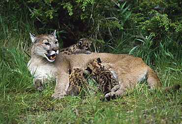 Mountain Lion Nursing Cubs