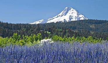 Field Of Lavender, Mount Hood, Oregon, Usa