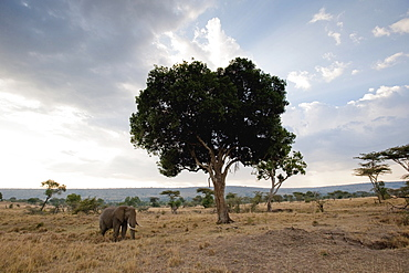 Elephant On An African Landscape