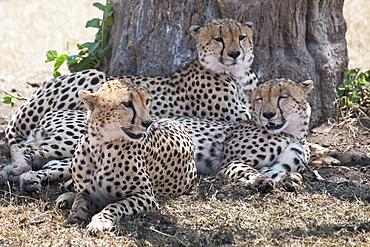 Leopards, Kenya, Africa