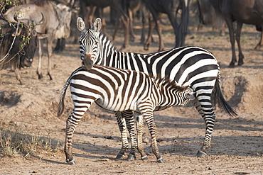 Zebras, Kenya, Africa