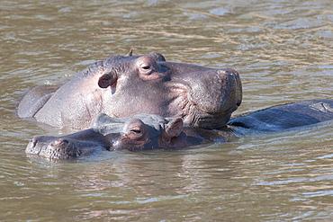 Hippo, Kenya, Africa