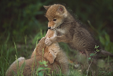 Coyote Puppies Wrestling (Canis Latrans), Idaho, Usa