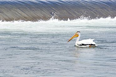 Calgary, Alberta, Canada, American White Pelican (P. Erythrorhynchos) In The Bow River