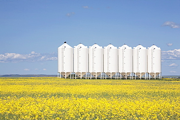 Alberta, Canada, Row Of Metal Grain Bins In A Flowering Canola Field