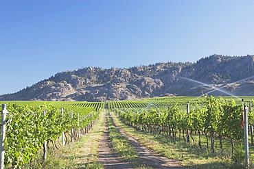 Irrigating Grape Vineyard And Mountains, Okanogan, British Columbia, Canada