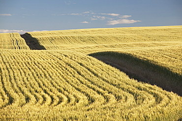 Green Wheat Field, Central Alberta, Canada