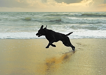 A Dog Running On The Beach, Tarifa, Cadiz, Andalusia, Spain