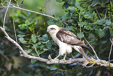 Hawaii, United States Of America, Hawaiian Hawk (Buteo Solitarius) Also Known As 'lo, Perched On Tree Branch