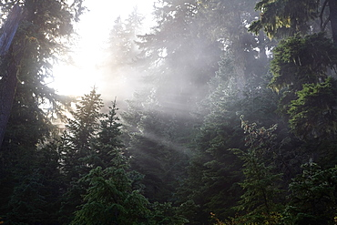 Washington, United States Of America, Morning Sun Through The Fog And Trees In Mt. Rainier National Park
