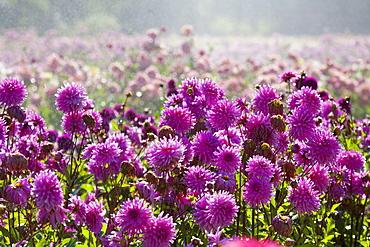 Willamette Valley, Oregon, United States Of America, Purple Dahlias In A Field