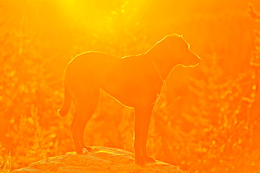 Oregon, United States Of America, A Dog Standing On A Rock At Sunrise On Mt. Hood