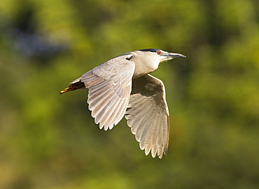Hawaii, United States Of America, Black-Crowned Night Heron (Nycticorax Nycticorax) In Flight