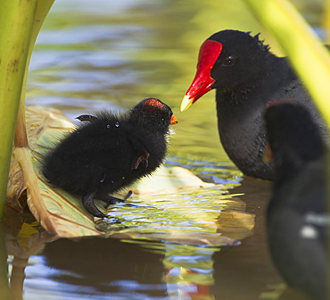 Hawaii, United States Of America, Hawaiian Common Gallinule (Gallinula Chloropus Sandvicensis) Chick On Taro Leaf Attended By Parents