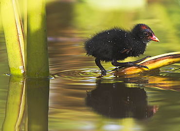 Hawaii, United States Of America, Hawaiian Common Gallinule (Gallinula Chloropus Sandvicensis) Chick On Taro Leaf In The Water