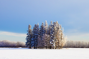 Parkland County, Alberta, Canada, A Cluster Of Trees In A Field Covered In Snow In Winter