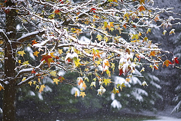 Oregon, United States Of America, Snow On The Leaves Of A Tree In Silver Falls State Park