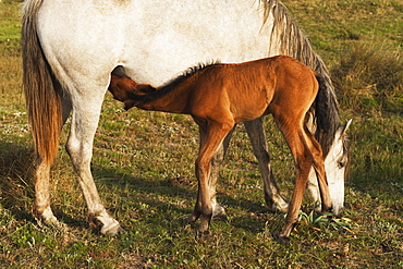 A Foal Drinks Milk From It's Mother, Tarifa, Cadiz, Andalusia, Spain