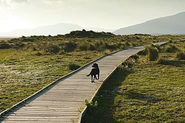 A Dog Walking Down A Boardwalk In Costa De La Luz, Tarifa, Cadiz, Andalusia, Spain