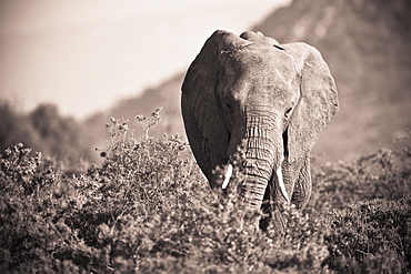 An Elephant Walking In The Bush, Samburu, Kenya