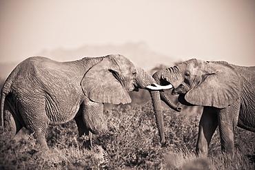 Two Elephants With Their Trunks Touching, Samburu, Kenya